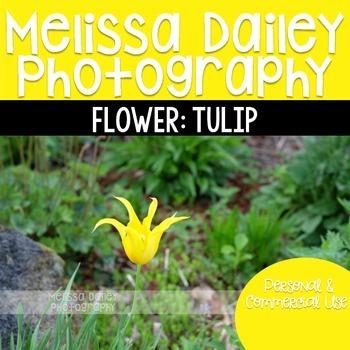 Tulip Photograph {Yellow}