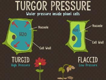 Turgor Pressure Poster