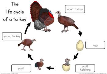 Turkey  life cycle  worksheet