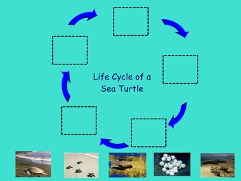 """Turtle Life Cycle Smart Doc- Non-fiction """"big book"""" ; Interactive Life Cycle"""