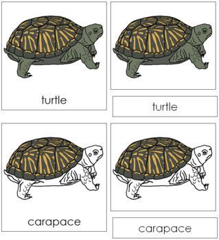 Turtle Nomenclature Cards