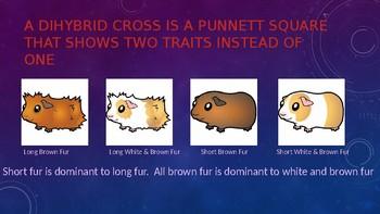 Two Trait Punnett Square PowerPoint