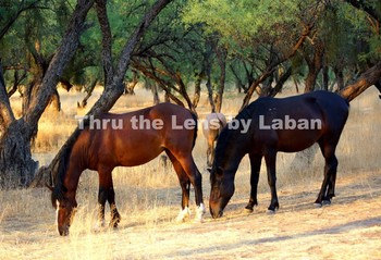 Two Wild Horses Eating Grass Stock Photo #207