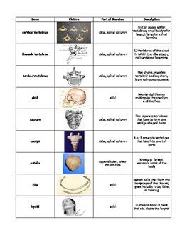 Types of Bones (Skeletal System) Review Cut & Paste