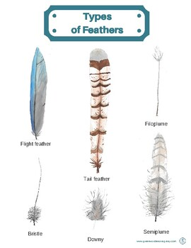 Types of Feathers Poster (8in X 11in)