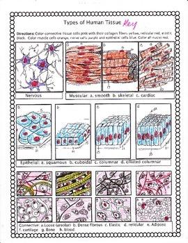 connective tissue matrix coloring worksheet answers | Kerra  |Human Tissue Worksheet