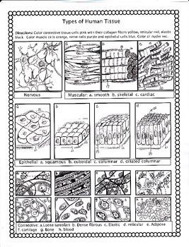 11 Best Images of Skin Worksheets Printable - Printable ...  |Human Tissue Worksheet