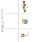 Types of RNA  Foldable