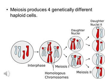 Understanding Meiosis