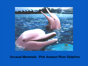 Unusual Mammals:  Pink Amazon River Dolphins