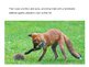 Unusual Mammals:  The Hedgehog