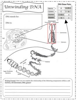 Unwinding DNA Doodle Notes-Advanced Classes