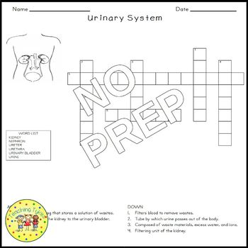Urinary System Biology Science Crossword Coloring Worksheet Middle School