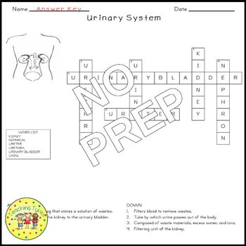 The Urinary System Crossword Puzzle
