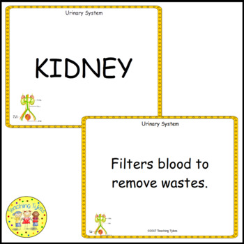 The Urinary System Vocabulary Cards