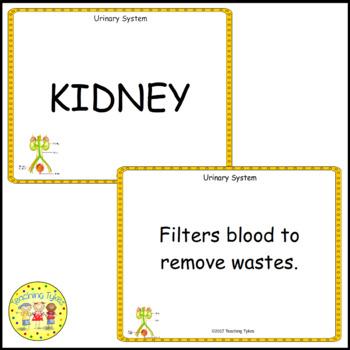 The Urinary System Vocabulary Cards
