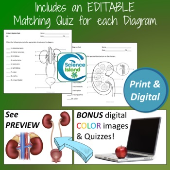 Urinary System Diagrams and Quizzes