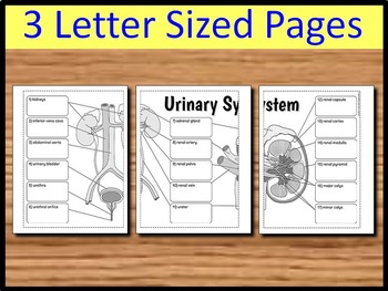 Urinary System Foldable - Big Foldable for Interactive Notebooks or Binders