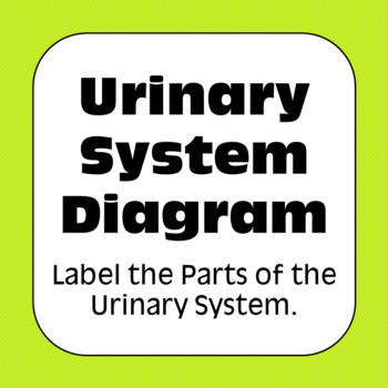 Anatomy and Physiology: Urinary System Diagram Label & Color Personal Use Only