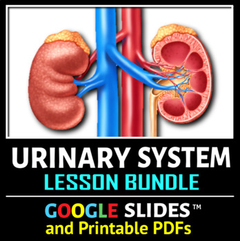 Urinary System Game Worksheets Teachers Pay Teachers