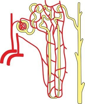 Urinary System (Grades 6 to 12)