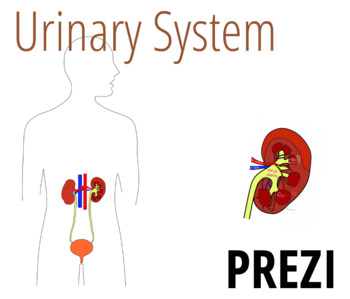 Urinary System Worksheets & Teaching Resources | TpT