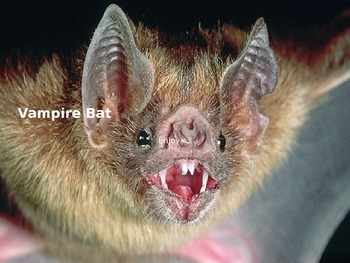 Vampire Bat - Power Point - Information Facts Pictures History