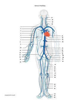 Veins of the Body Assessment or Worksheet