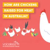 Video | Chicken Welfare in the Australian Meat Industry