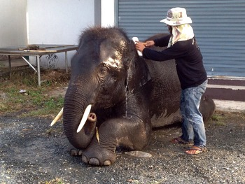 Videos Bathing baby Asia elephant  by human 1.08 min.