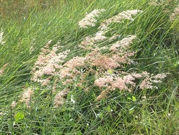 Videos Flowering grass and windy 34 seconds