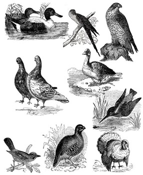 Clipart  - Birds - Realistic Vintage Style