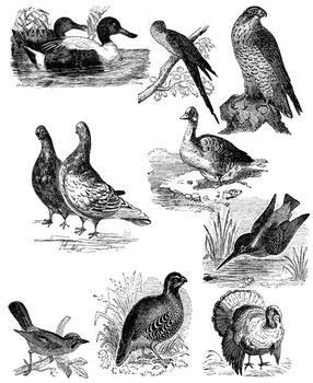 Bird Realistic Clip Art Vintage Style