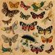 Vintage Butterflies Digital Paper Pack - Scientific Plates - 12 Papers - 12 x 12