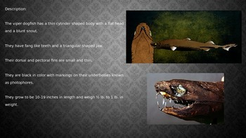 Viper Dog Fish Powerpoint - deep sea shark - information facts pictures