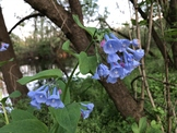 Virginia Bluebells (Stock Photo Image)