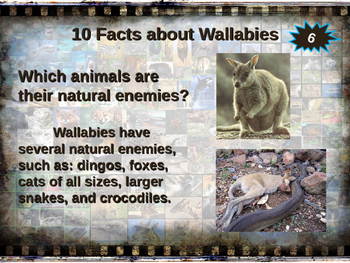 WALLABIES - visually engaging PPT w facts, video links, handouts & more