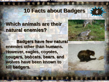 BADGERS - visually engaging PPT w facts, video links, handouts & more