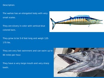 Wahoo - Power Point - Information Pictures Facts Review Endangered