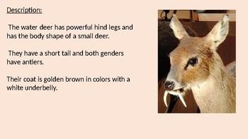 Water Deer - Vampire Deer Power Point facts information review
