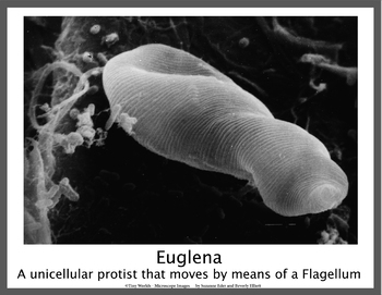 Water Organisms Scanning Electron Microscope Posters
