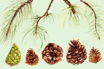 Watercolor Pine Clip Art Set + Wreath