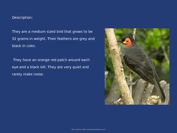 Wattled Smokey Honey Eater - Bird Power Point Information Facts Pictures