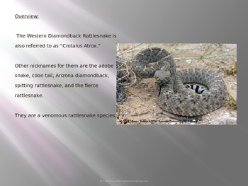 Western Diamondback Rattle Snake - Power Point - Information Facts Pictures