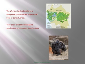 Western Lowland Gorilla - Power Point - Information Facts Pictures