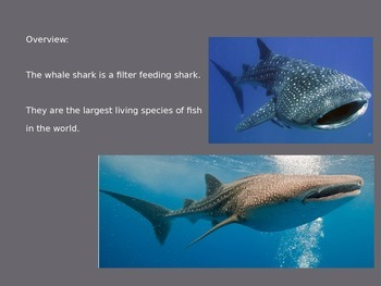 Whale Shark - Power Point - Information Facts Pictures Review Fish