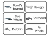 Whale Types Picture Word Flash Cards. Preschool flash card