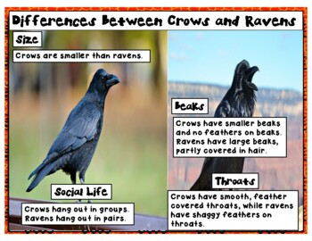 What Do the Crows Know? (with GREAT comprehension & vocabulary activities TOO!)