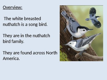White Breasted Nuthatch - Song Bird power point information facts pictures