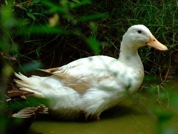 White Duck Bath 2